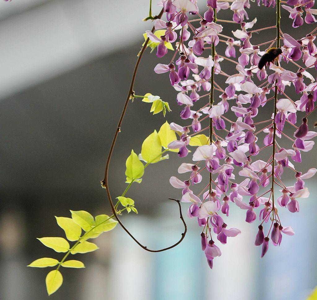 紫藤挂云木  香风留美人_图1-7