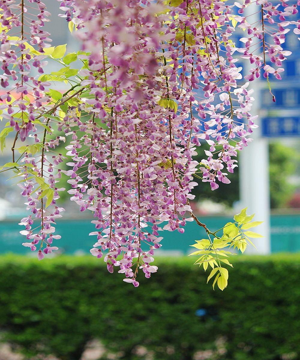 紫藤挂云木  香风留美人_图1-1
