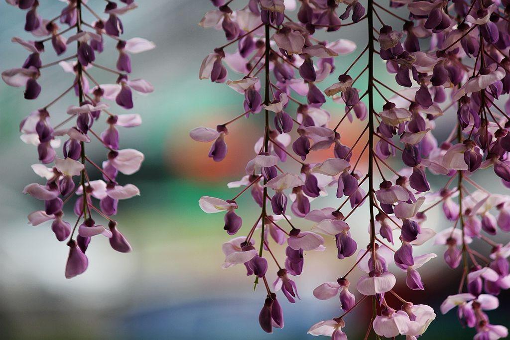 紫藤挂云木  香风留美人_图1-8