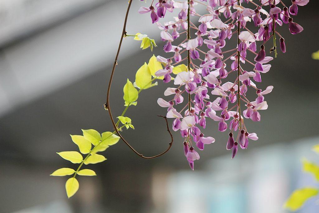 紫藤挂云木  香风留美人_图1-12