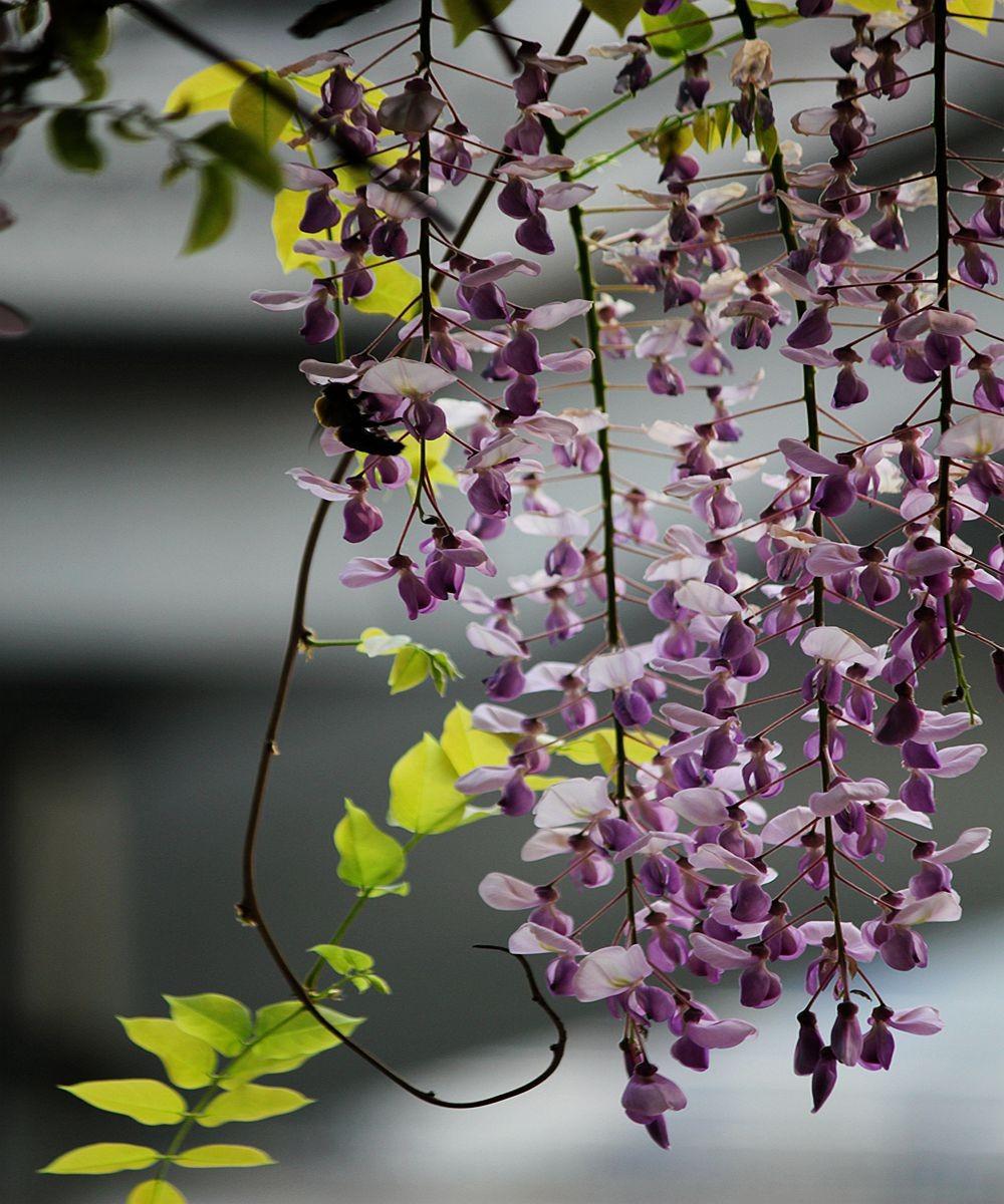 紫藤挂云木  香风留美人_图1-14