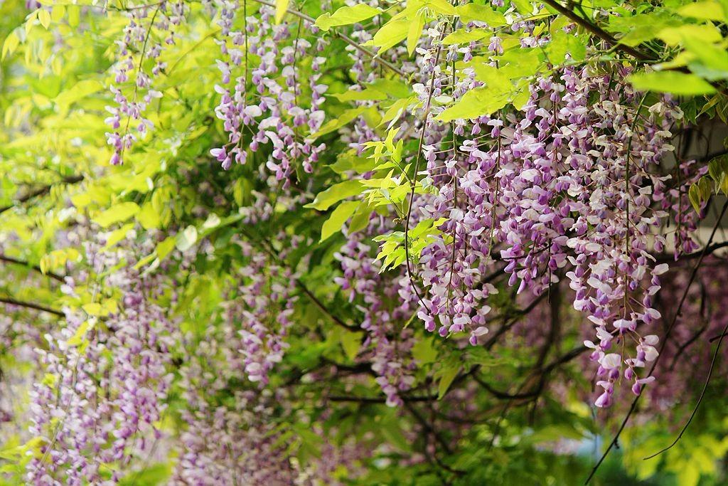 紫藤挂云木  香风留美人_图1-16