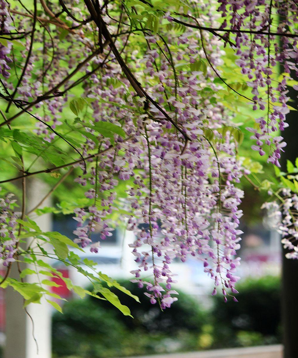 紫藤挂云木  香风留美人_图1-19