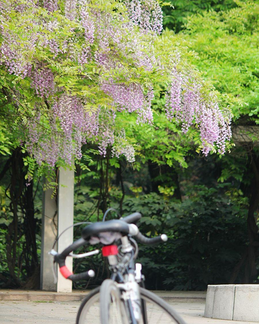 紫藤挂云木  香风留美人_图1-20