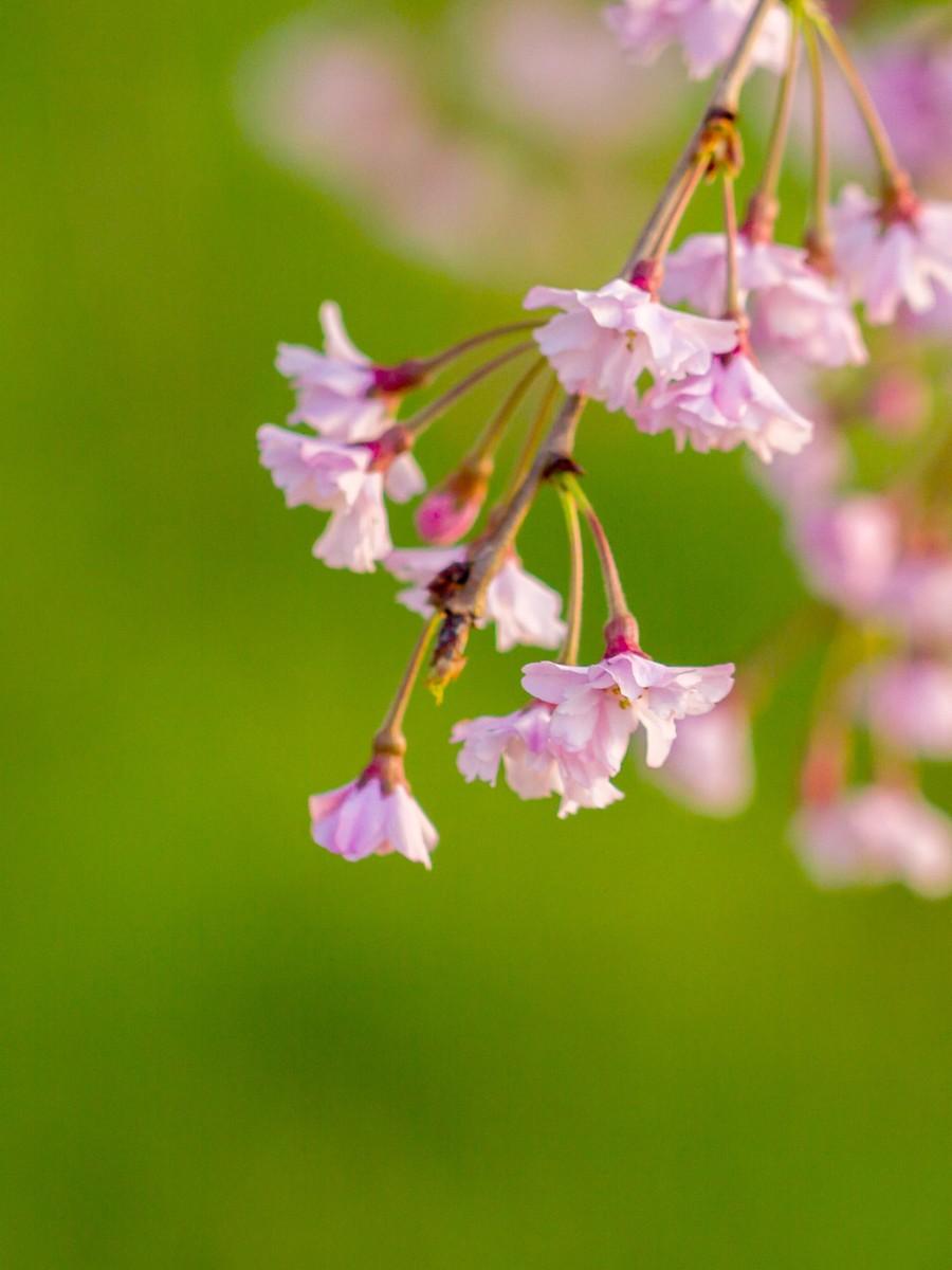 初春的樱花_图1-16