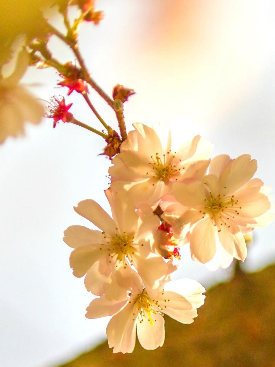 初春的樱花_图1-17