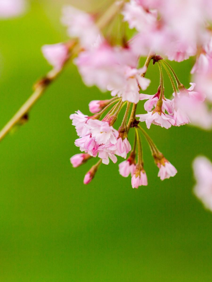 初春的樱花_图1-20