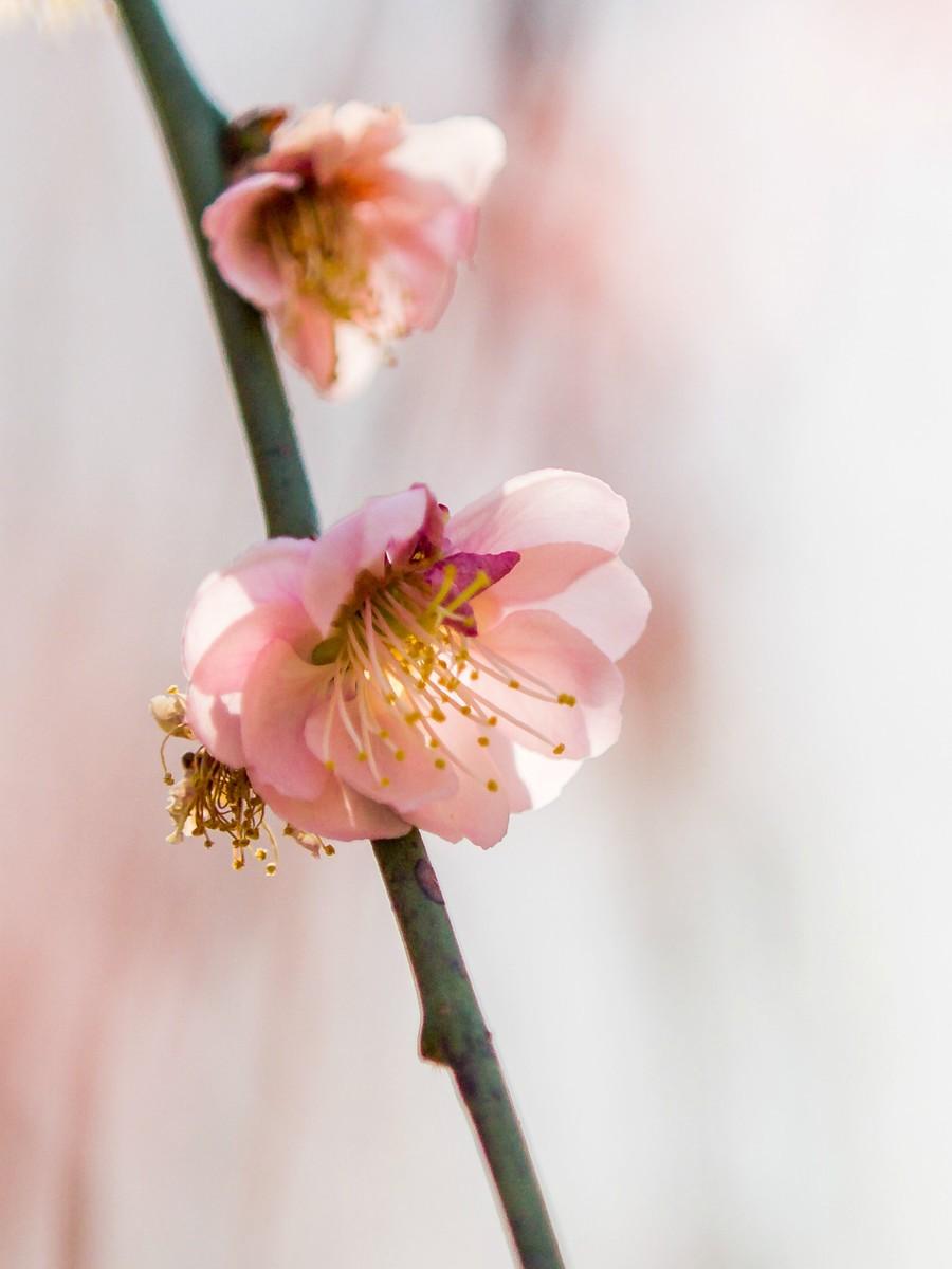 初春的樱花_图1-19
