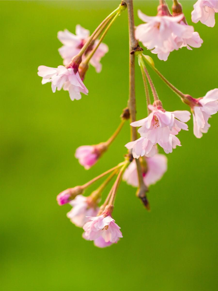 初春的樱花_图1-6