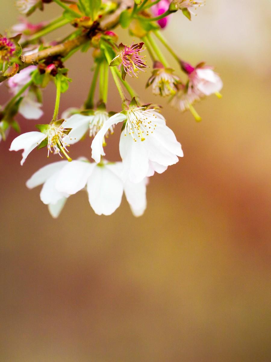 初春的樱花_图1-13
