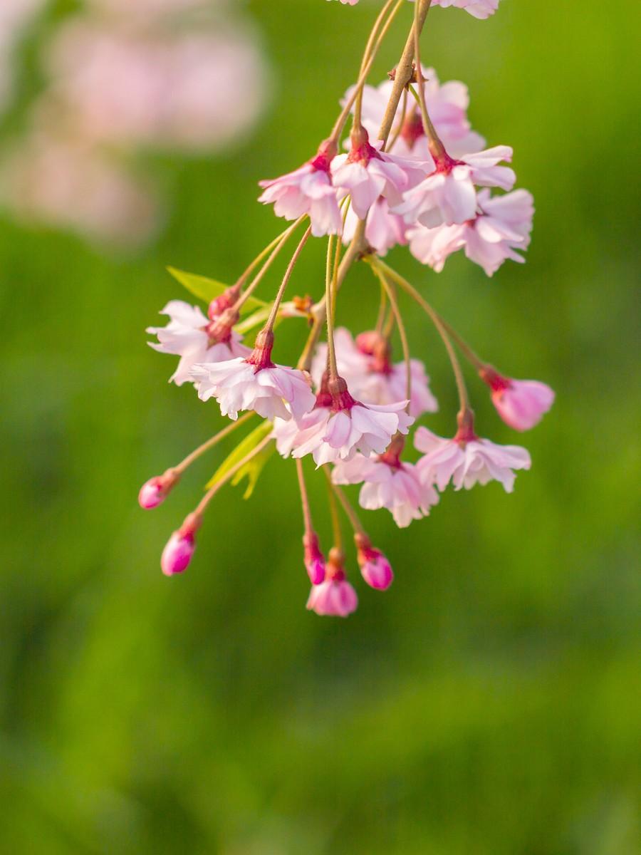 初春的樱花_图1-14