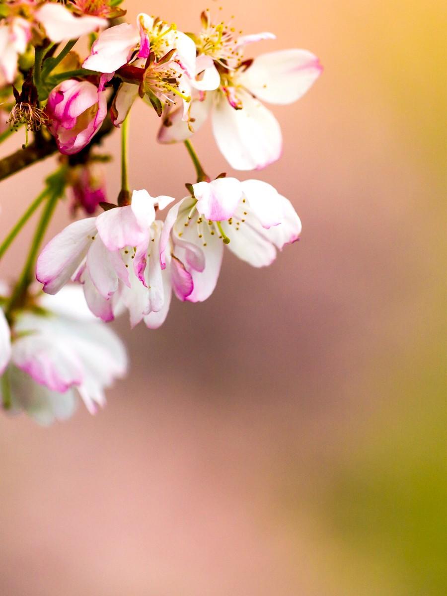 初春的樱花_图1-5