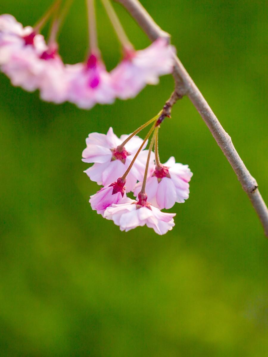 初春的樱花_图1-10