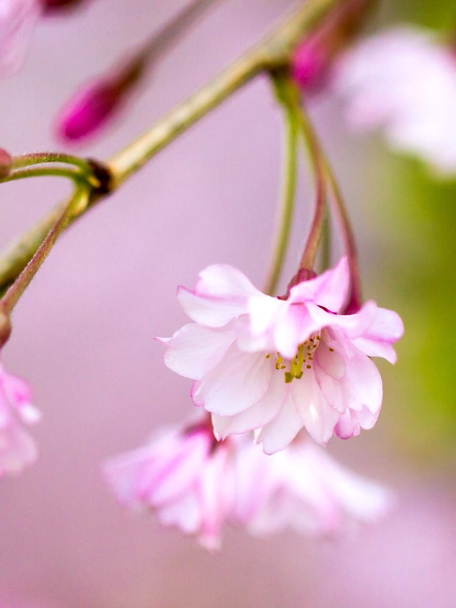 初春的樱花_图1-11