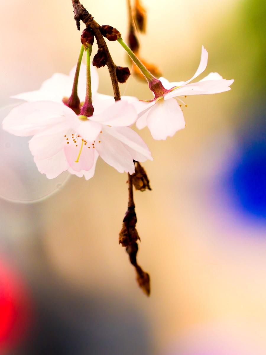 初春的樱花_图1-7