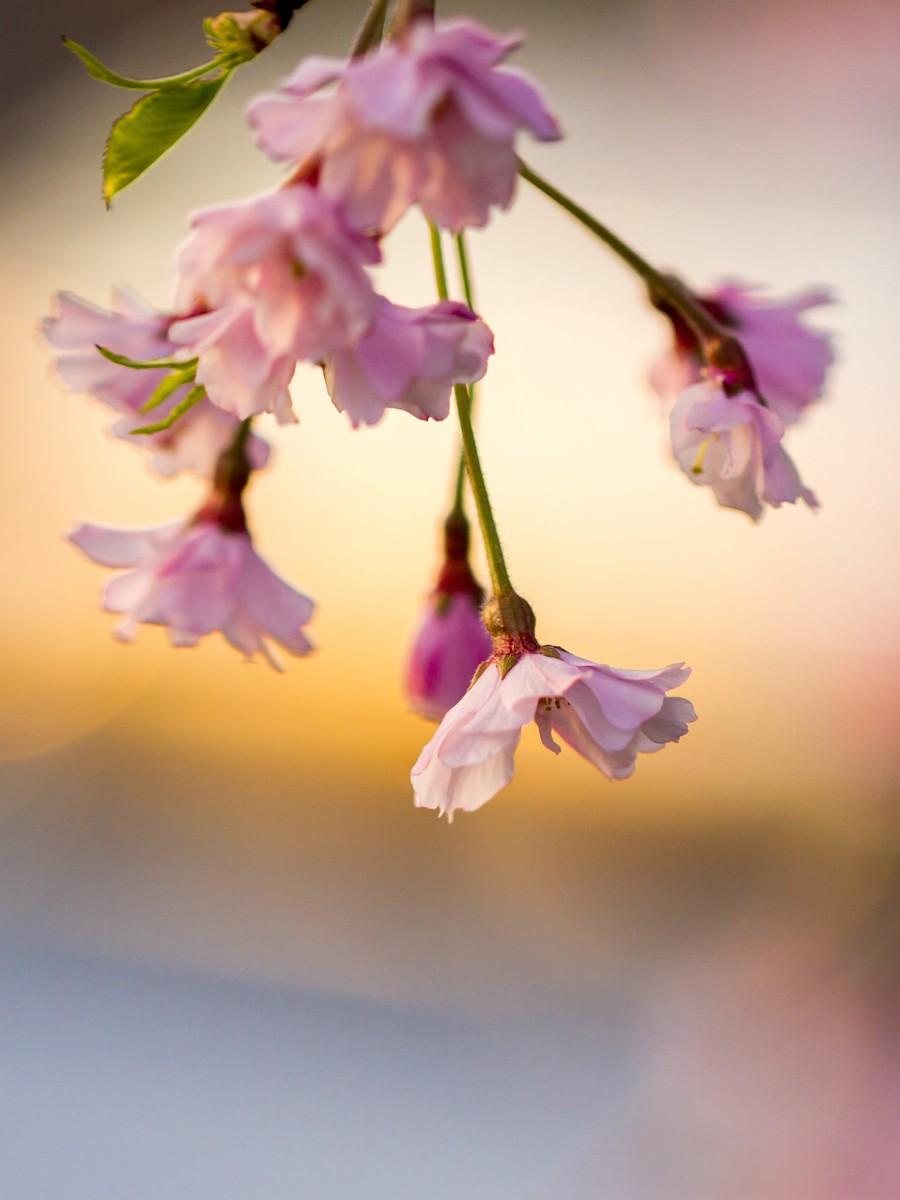 初春的樱花_图1-12