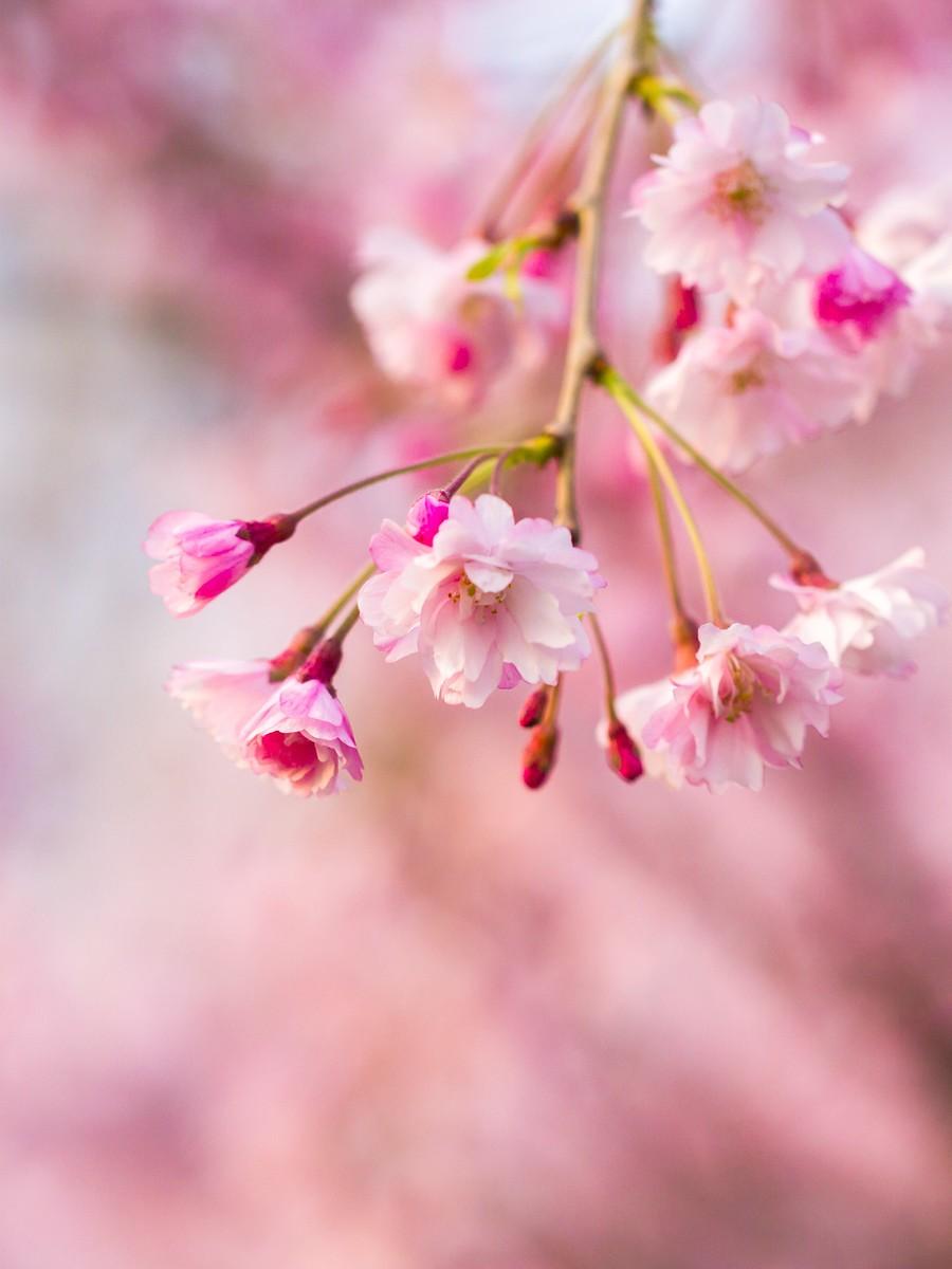 初春的樱花_图1-1