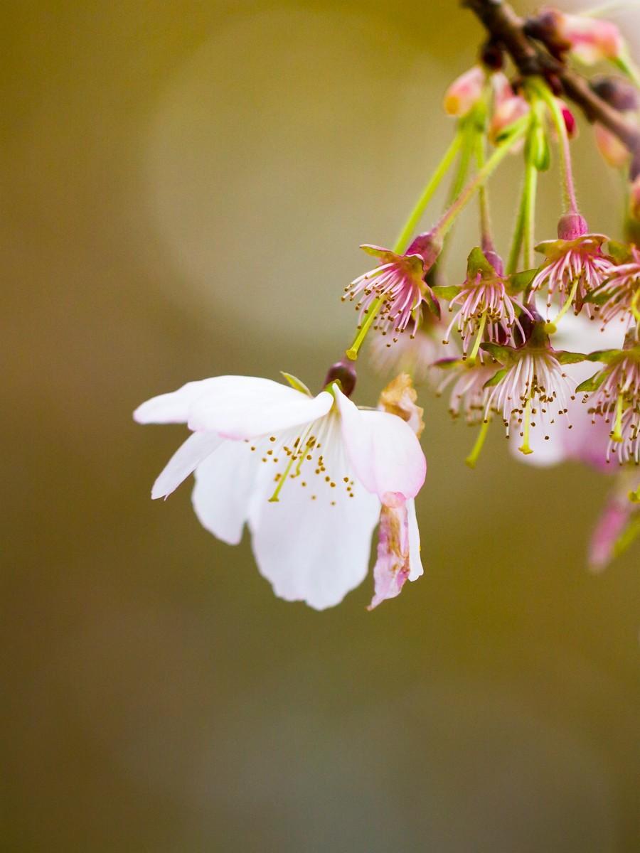 初春的樱花_图1-4
