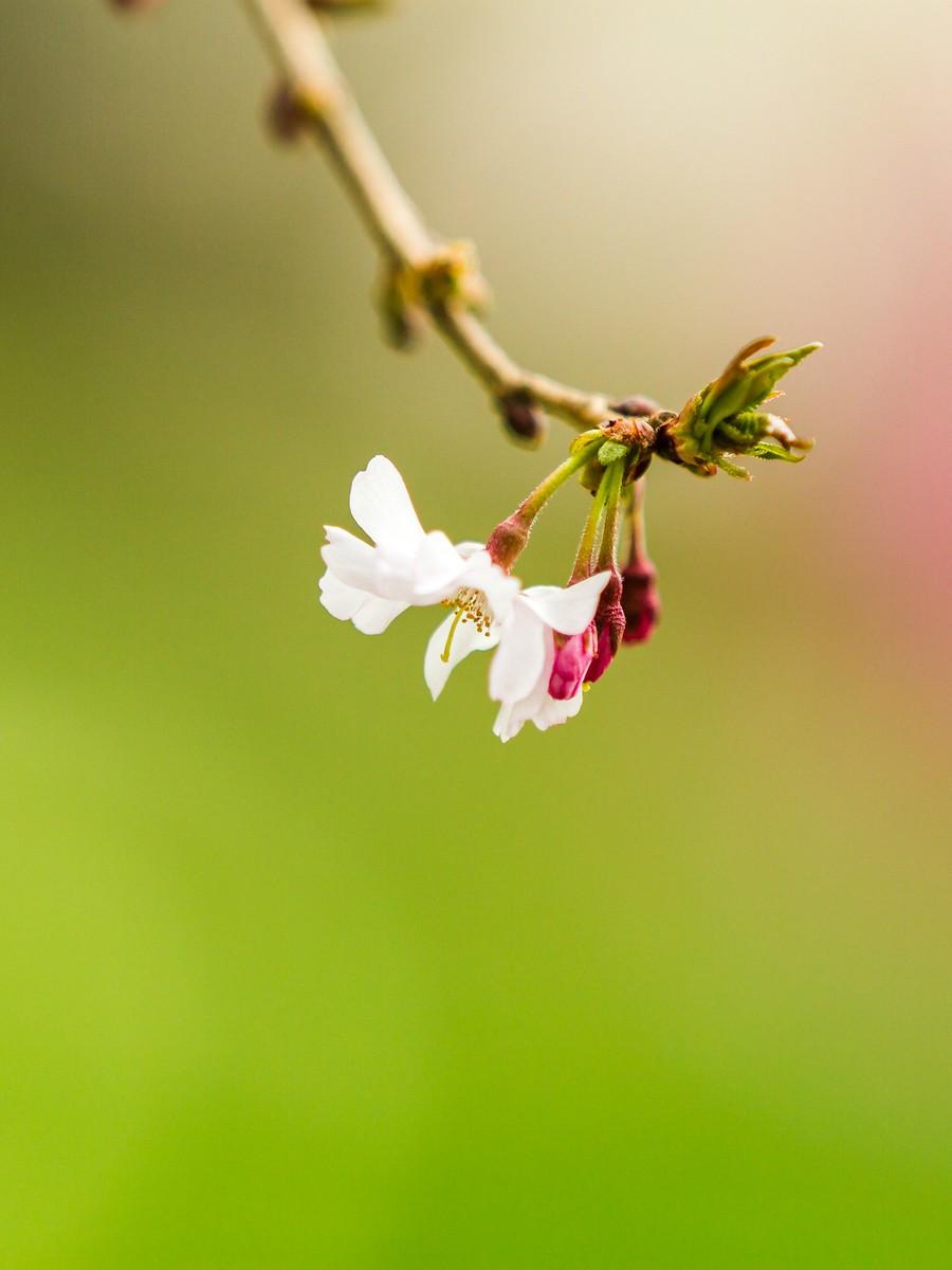初春的樱花_图1-23