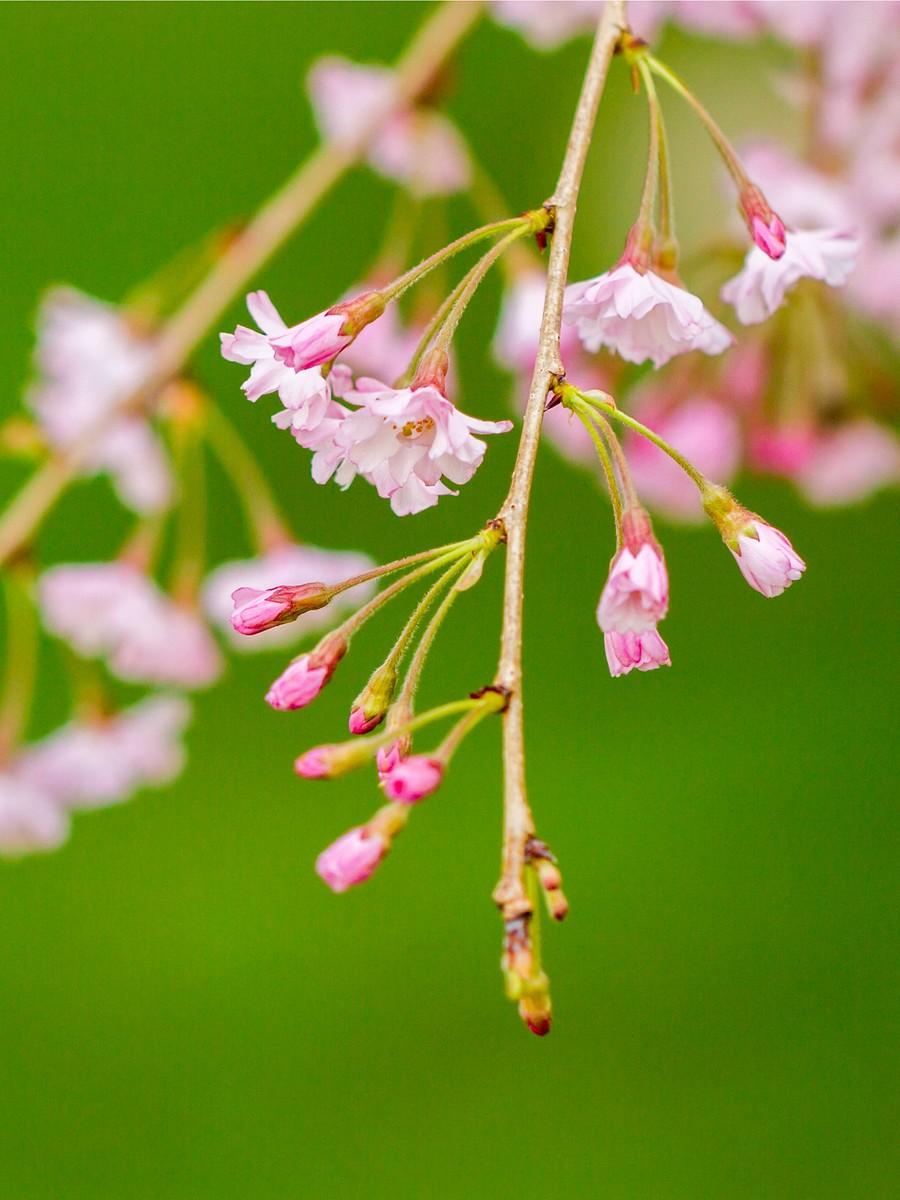 初春的樱花_图1-24