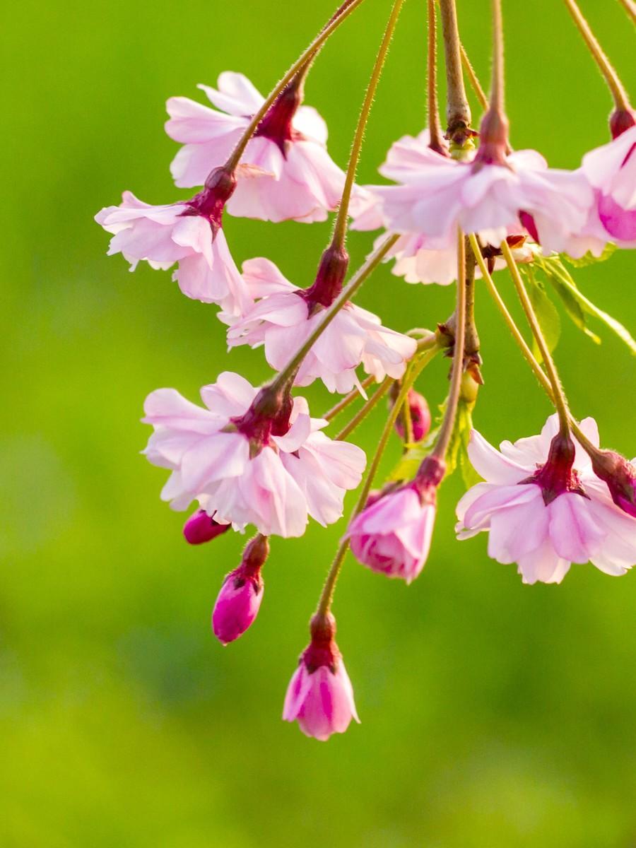 初春的樱花_图1-22