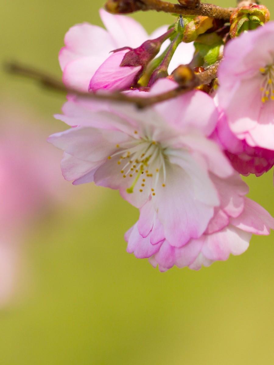 初春的樱花_图1-25