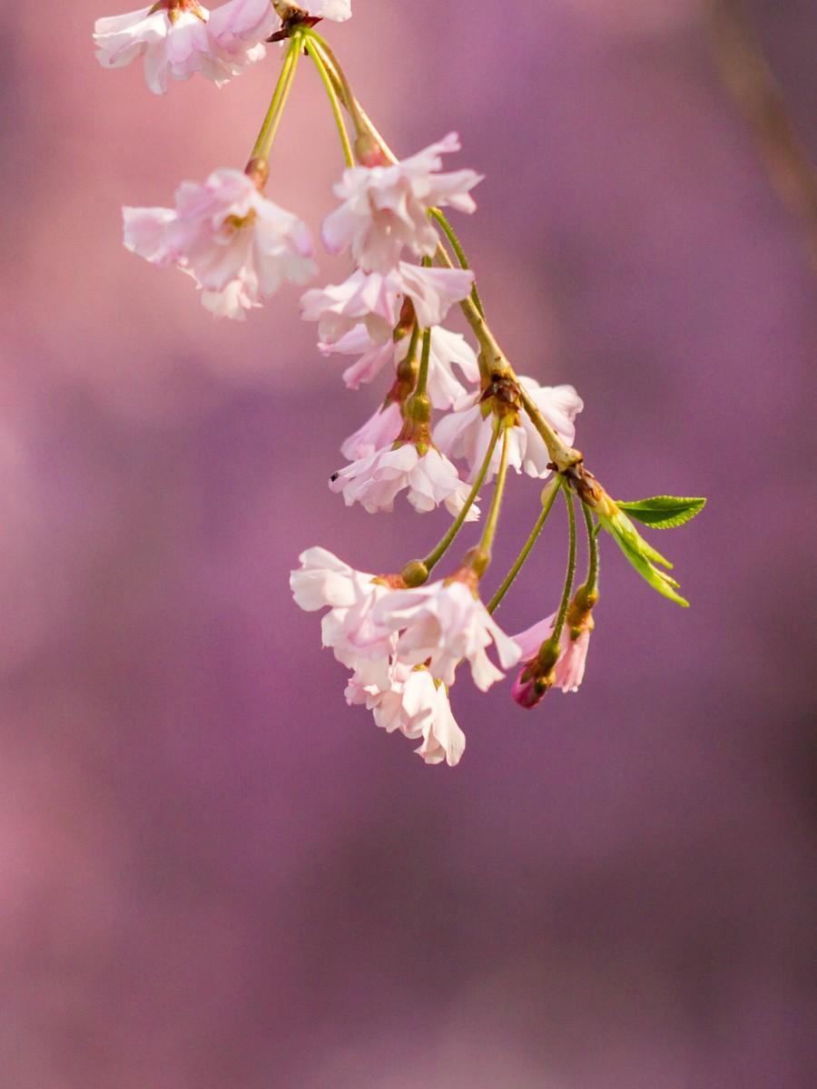 初春的樱花_图1-26