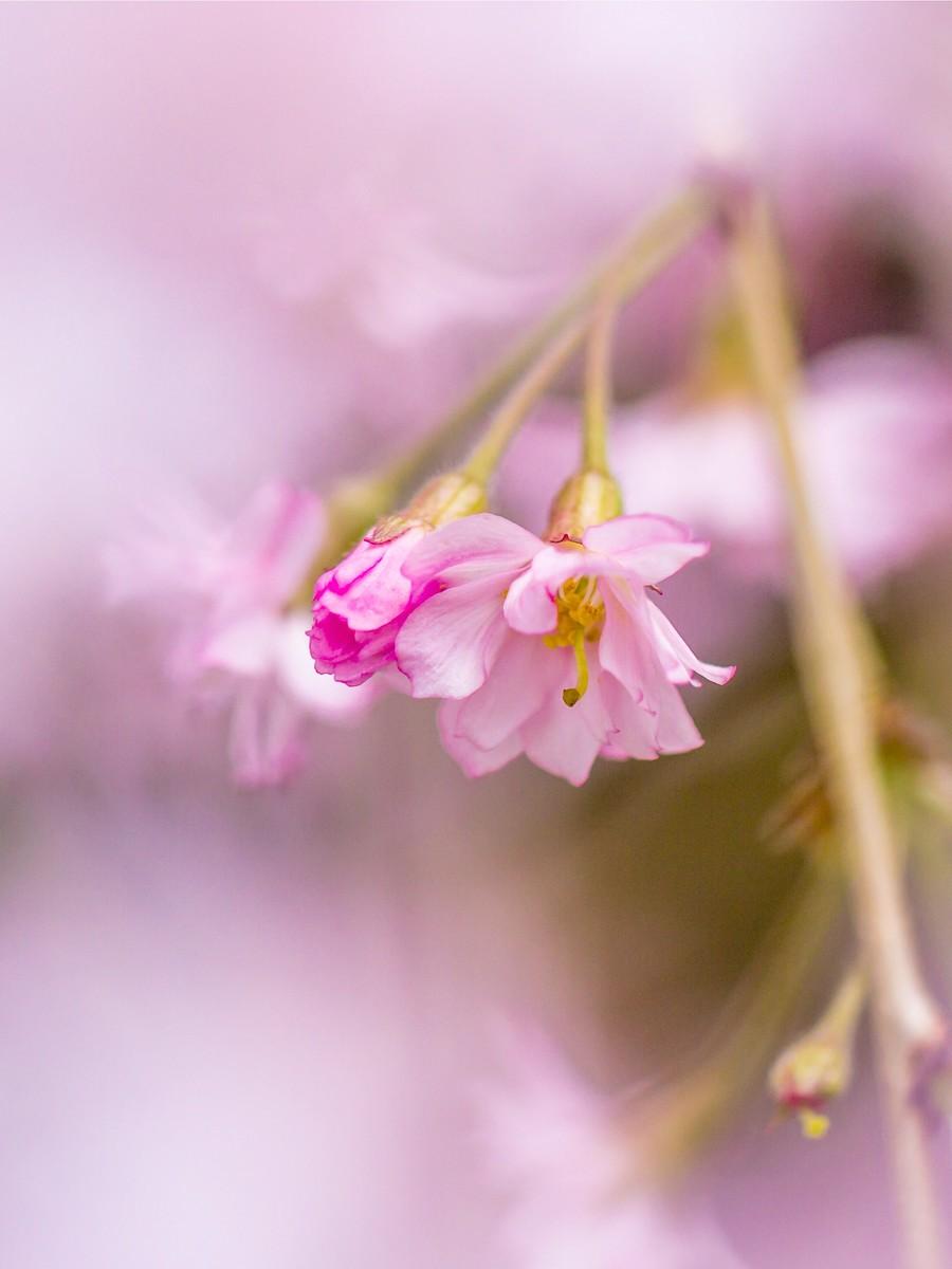 初春的樱花_图1-28