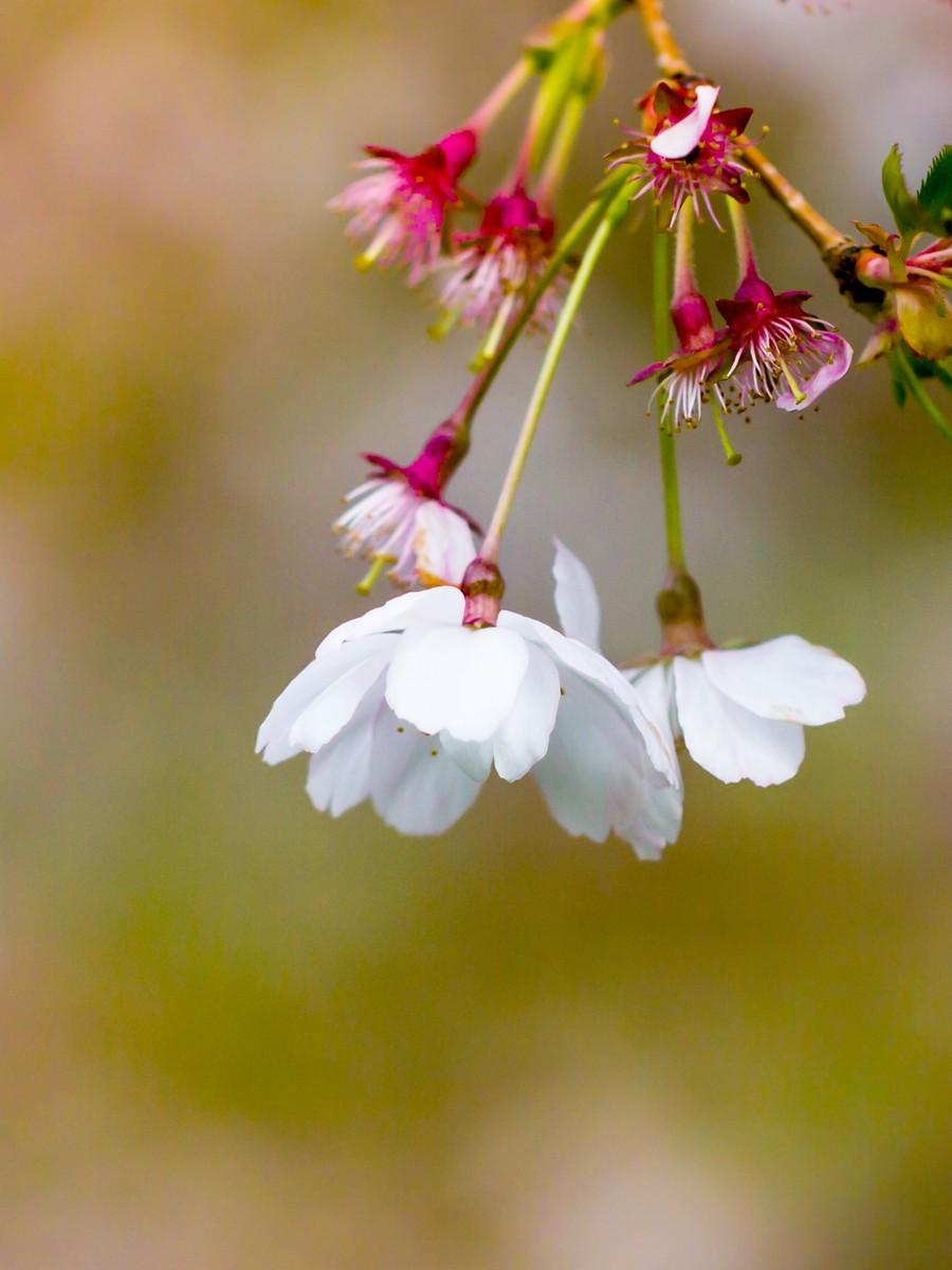 初春的樱花_图1-29