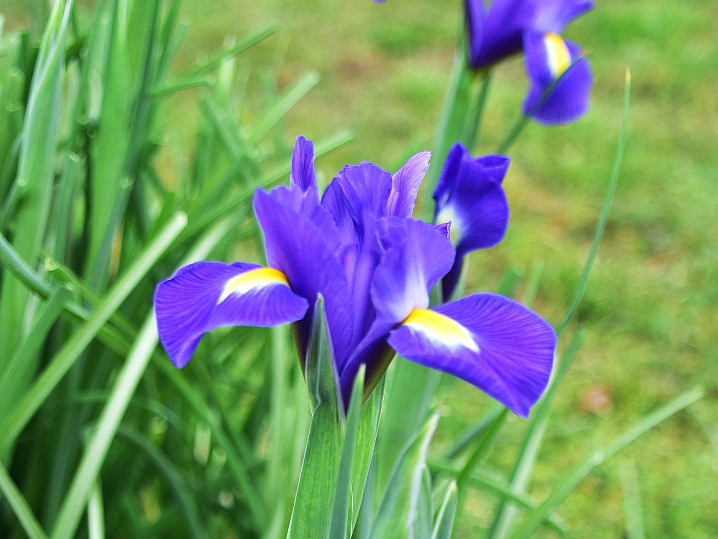 年年盛放的紫鸢花_图1-1