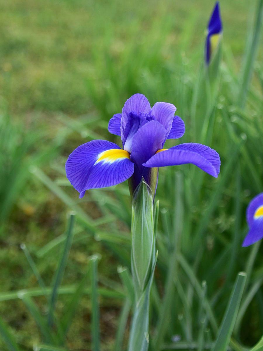 年年盛放的紫鸢花_图1-3