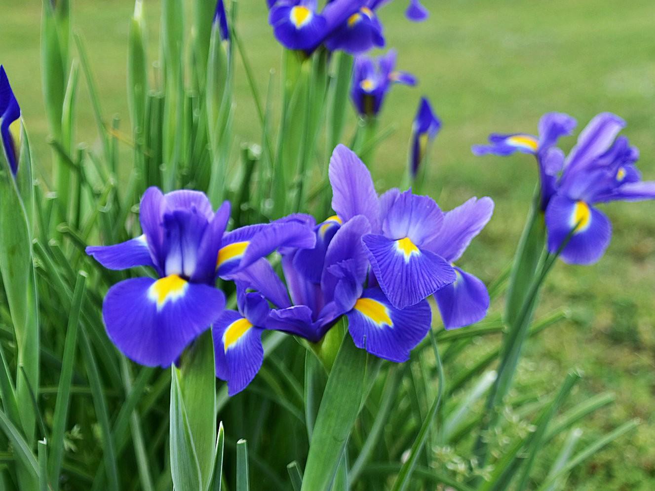 年年盛放的紫鸢花_图1-5