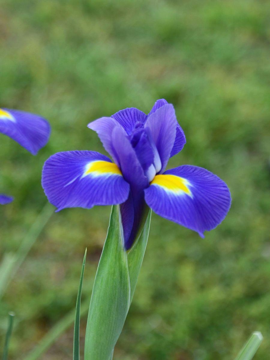 年年盛放的紫鸢花_图1-4