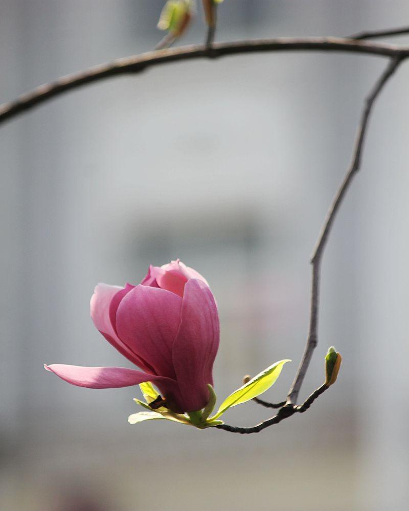 盛开的玉兰花_图1-2