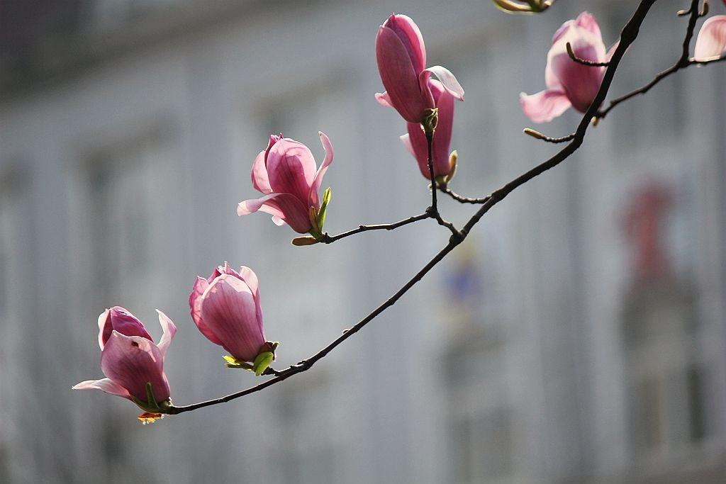 盛开的玉兰花_图1-4
