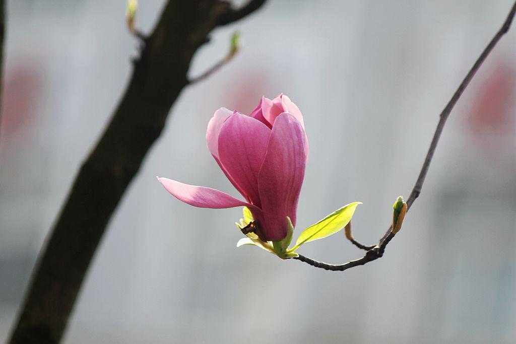盛开的玉兰花_图1-9