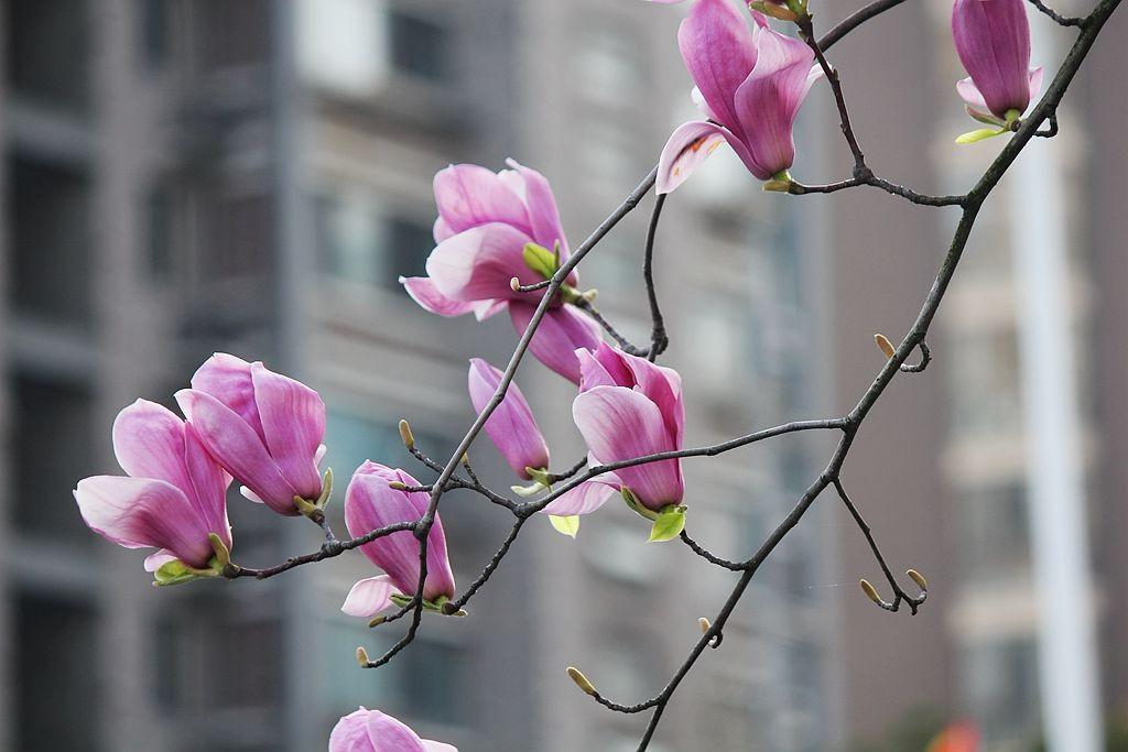 盛开的玉兰花_图1-18