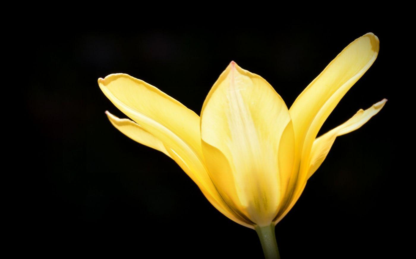 郁金香花开了_图1-12