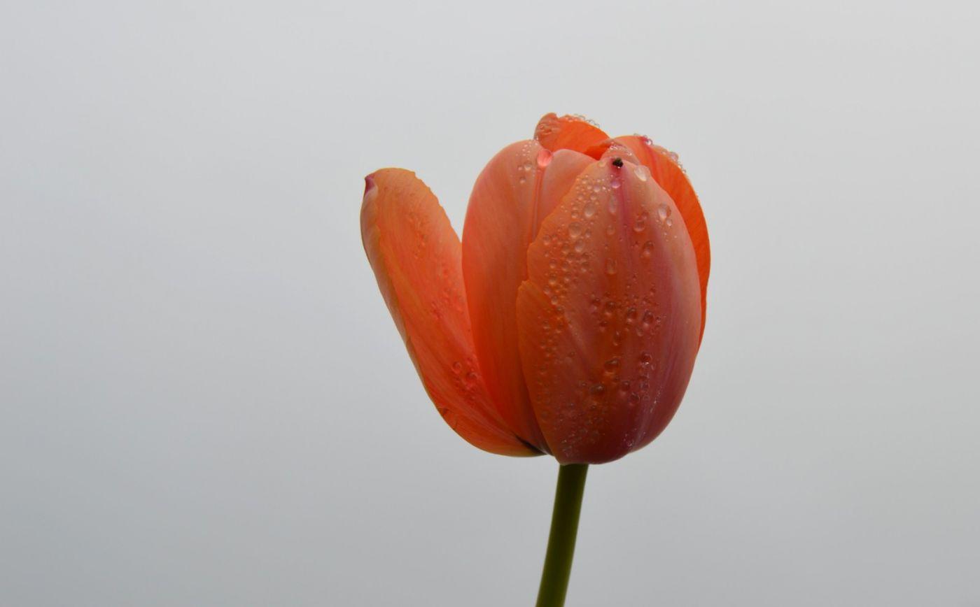郁金香花开了_图1-25