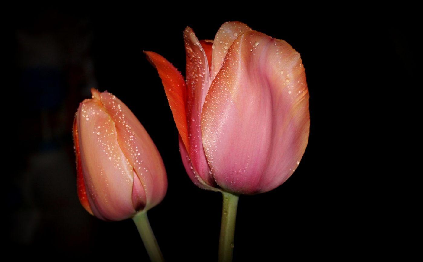 郁金香花开了_图1-28