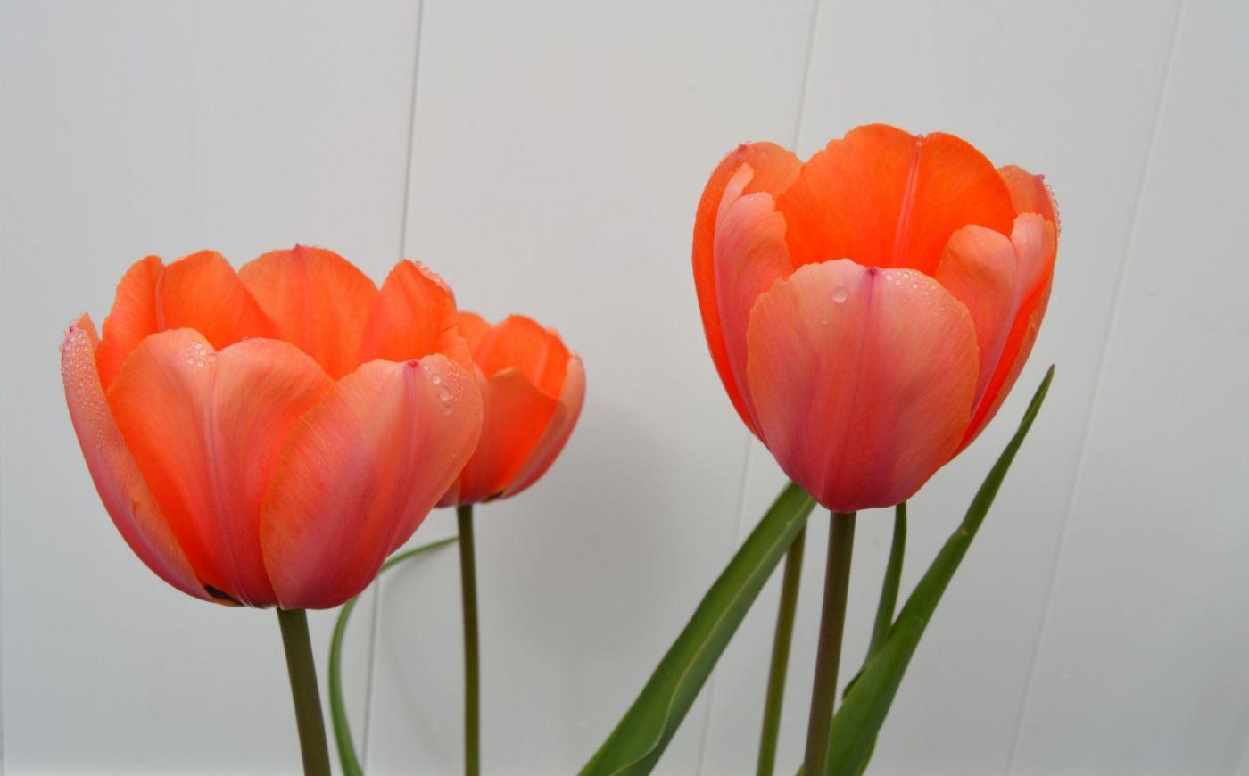 郁金香花开了_图1-31