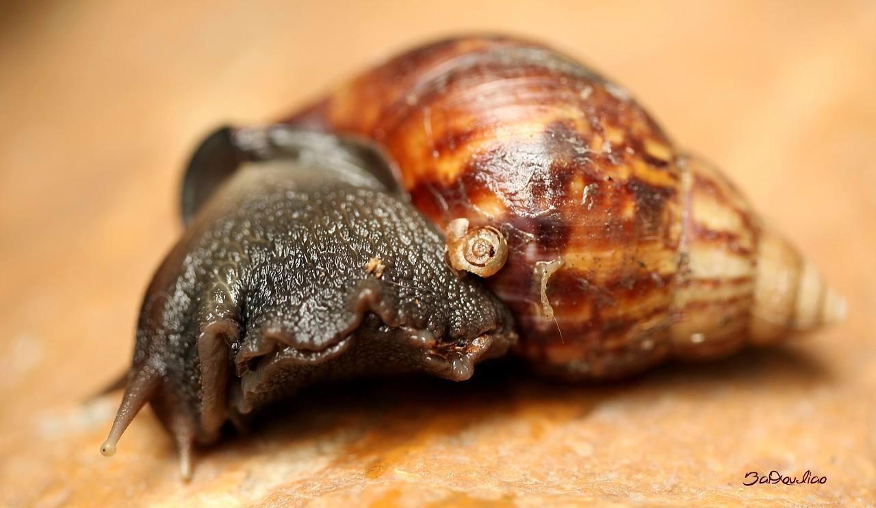 非洲大蜗牛能吃水泥咬断钢筋,满嘴牙齿数不清,吃货都束手无策 奈何不得 ..._图1-3