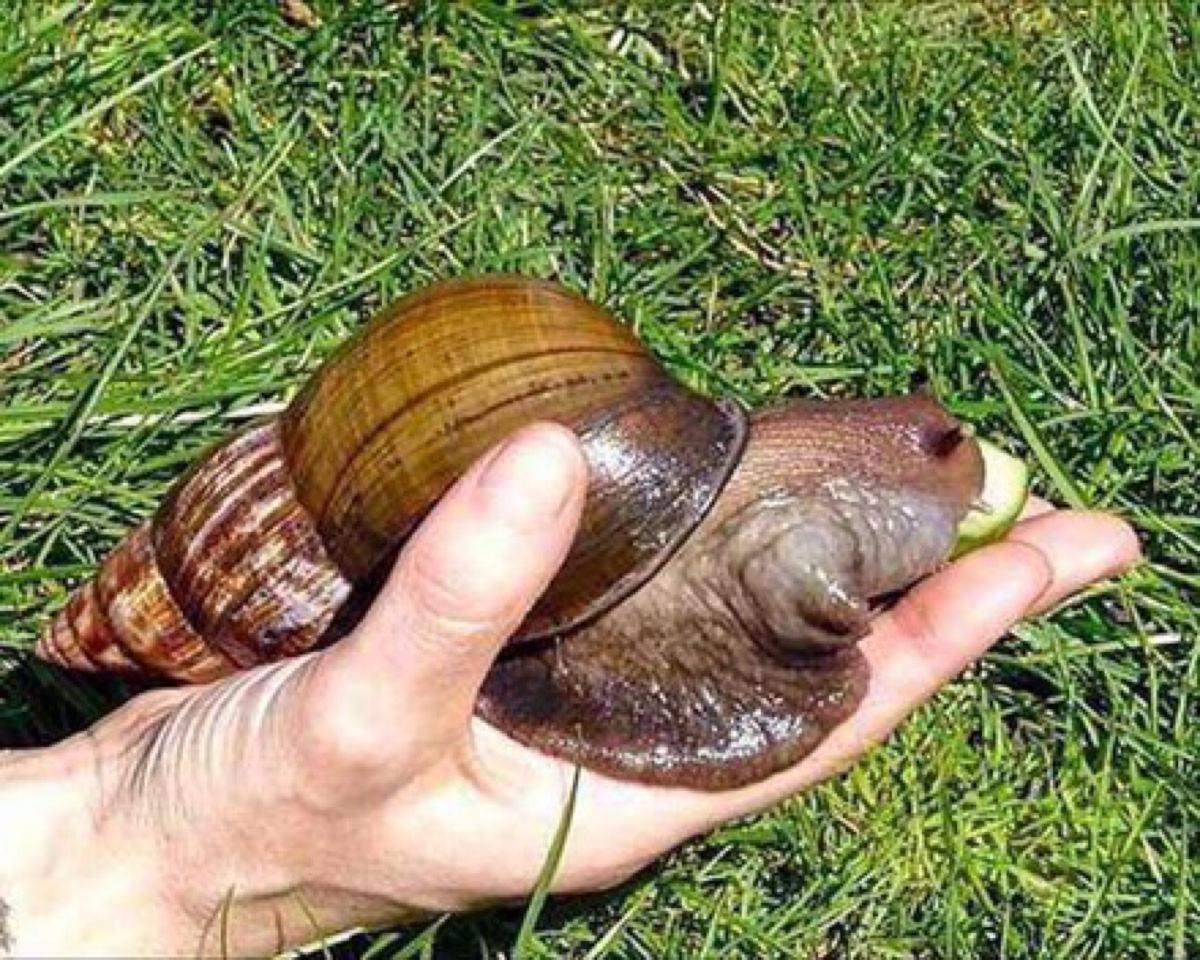 非洲大蜗牛能吃水泥咬断钢筋,满嘴牙齿数不清,吃货都束手无策 奈何不得 ..._图1-5