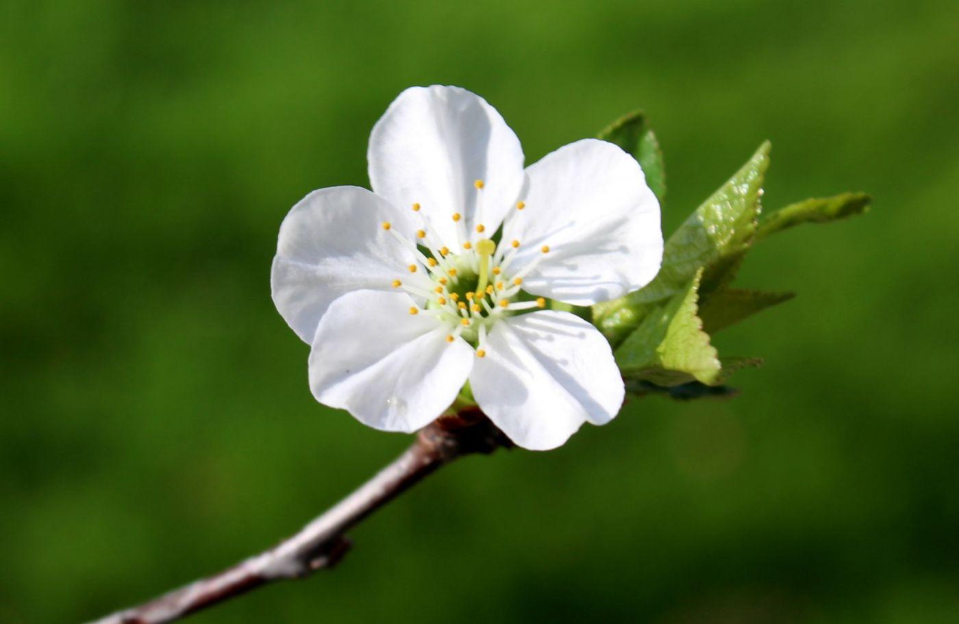 樱桃花开了_图1-1