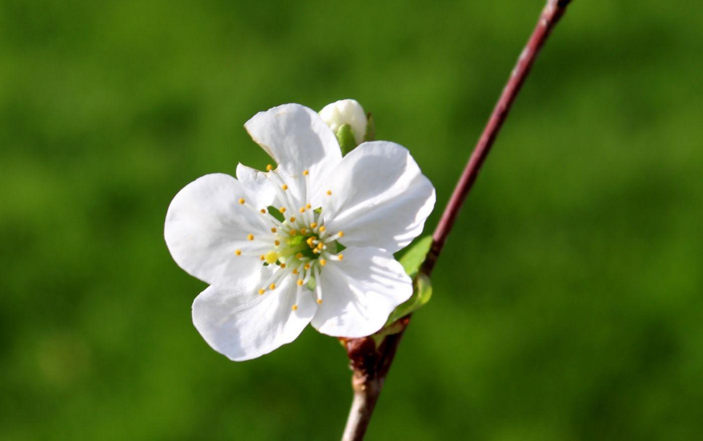 樱桃花开了_图1-2