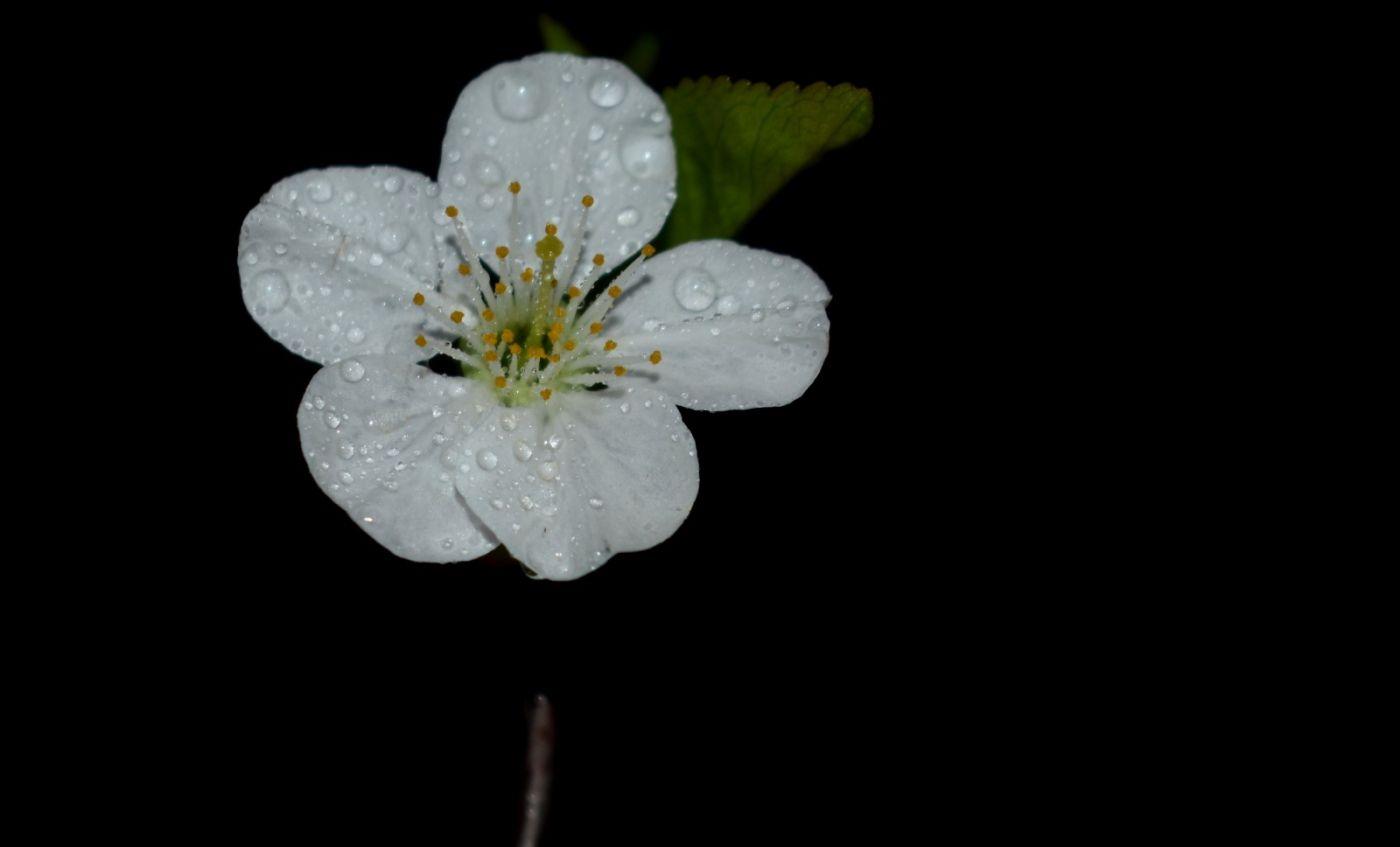 樱桃花开了_图1-3