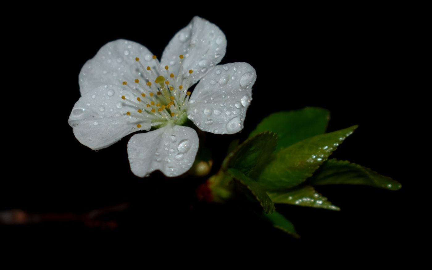 樱桃花开了_图1-4