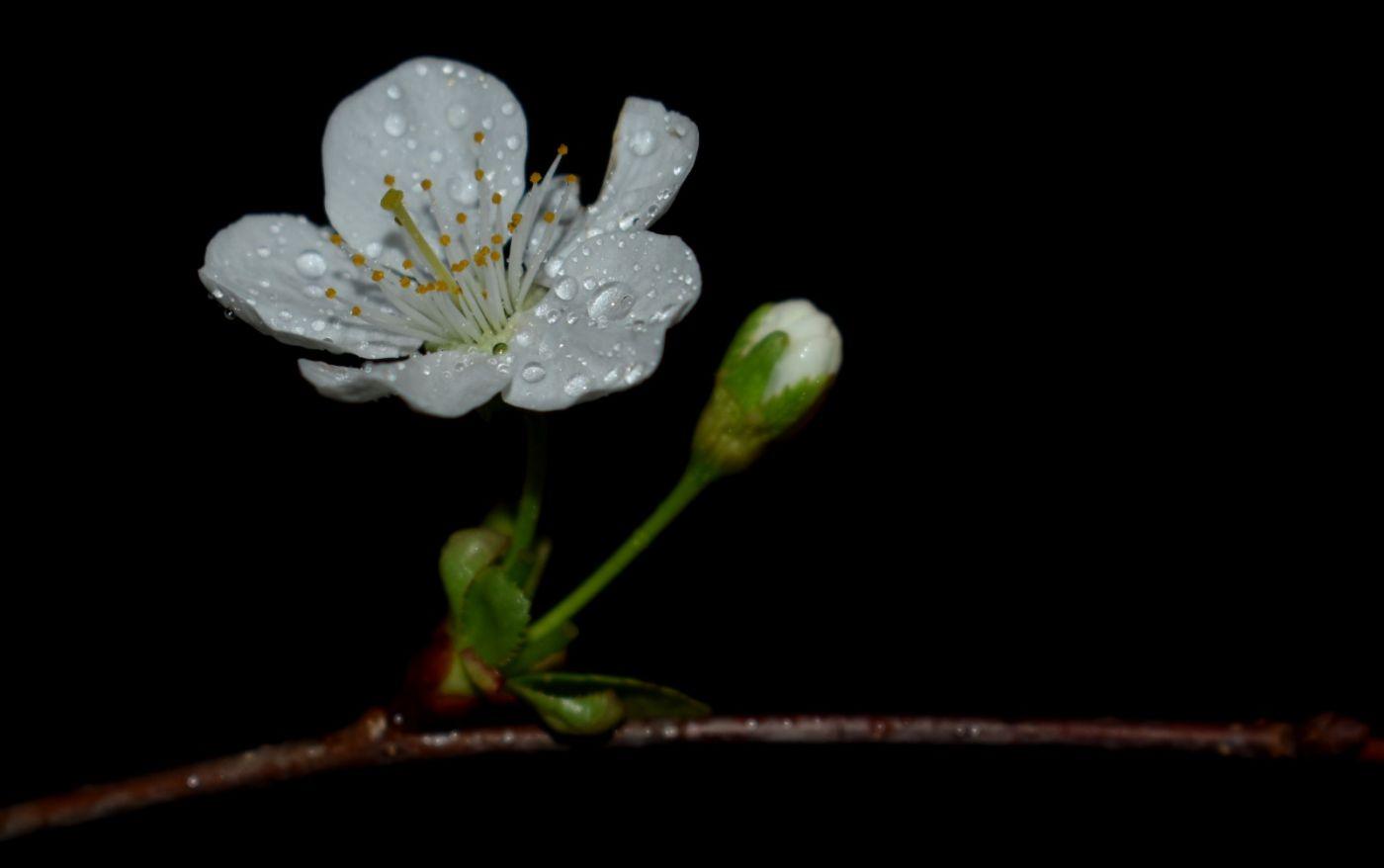 樱桃花开了_图1-5