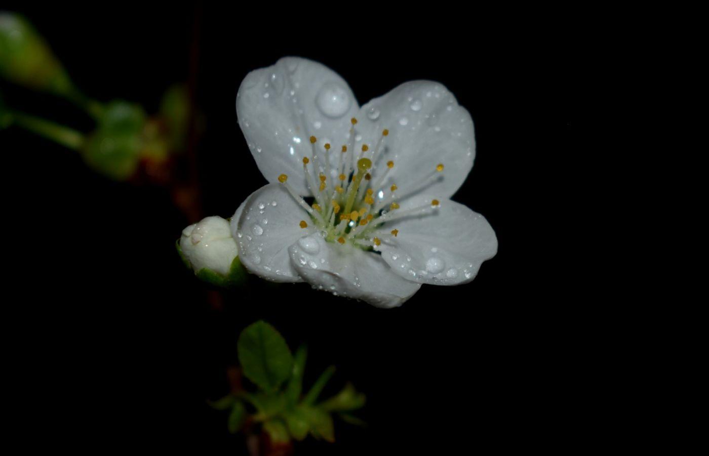 樱桃花开了_图1-6
