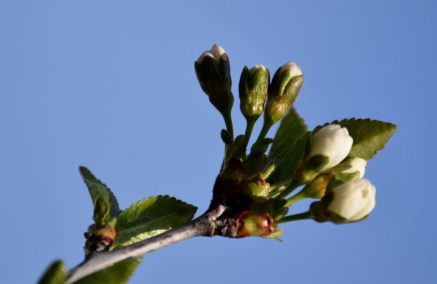 樱桃花开了_图1-7